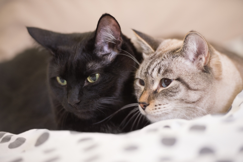 Two cute domestic short hair cats snuggle with one another while lying on a bed