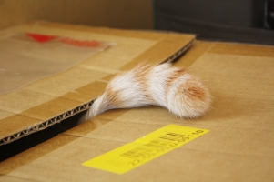 Cat tail orange and white in a box